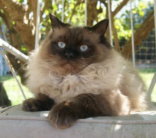 Buy ragdoll cat victoria
