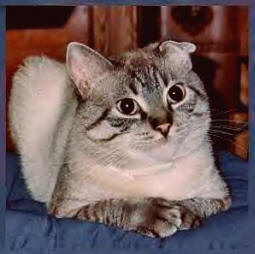 Ear Mites In Cats Symptoms And Treatment