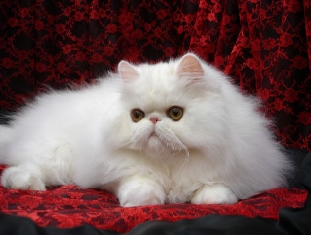 Fluffy White Persian Cat