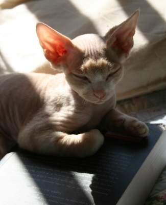 Devon Rex Kitten Picture