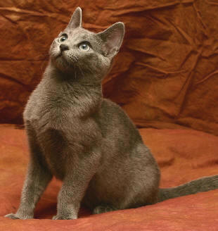 Russian Blue Cat Breeders