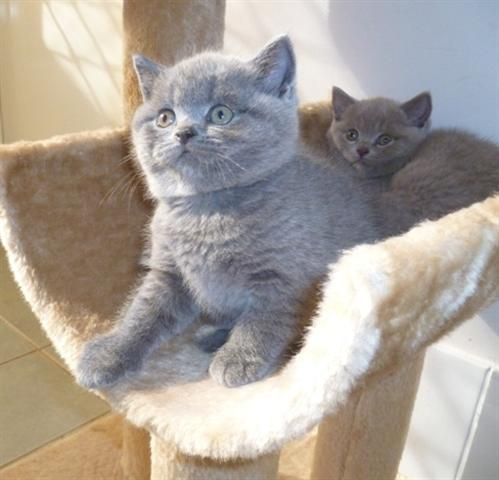 British Shorthair  Bre...