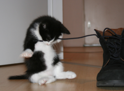 Kitten with Boot Lace Picture