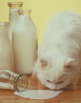 Cats Should Not Drink Milk