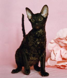 Cornish Rex Cat Breed ...