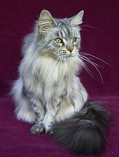 Maine Coon Cat Breed Cat Pictures Amp Information