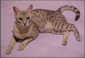 Australian Mist Cat Breed Profile  Photos and Description