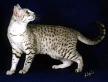 Egyptian Mau Cat Breed Profile Description and Photos