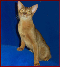 Abyssinian Cat Breed Information  Photos and Description