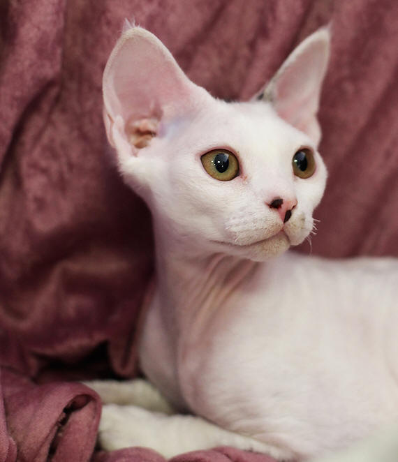 Devon Rex Cat Rescue Australia
