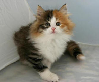 Can Norwegian Forest Cats Us