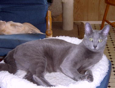 Photo Russian Blue Cat