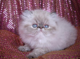Persian Cat  Seal Tabby Point Male