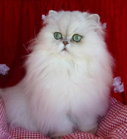 Eye care for persian cats