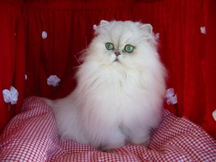 persian cat breed cat pictures u0026amp information cats breeds 423x318