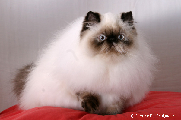 Himalayan Cat Breed Profile