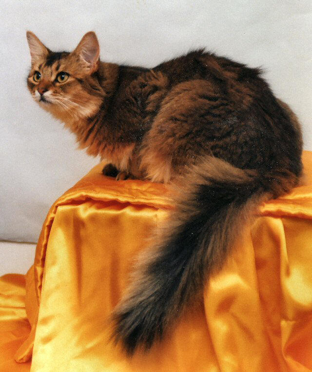 Photo Somali Cat