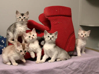 Photo Somali Kittens