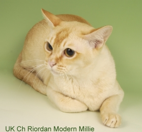 Burmese cats brisbane