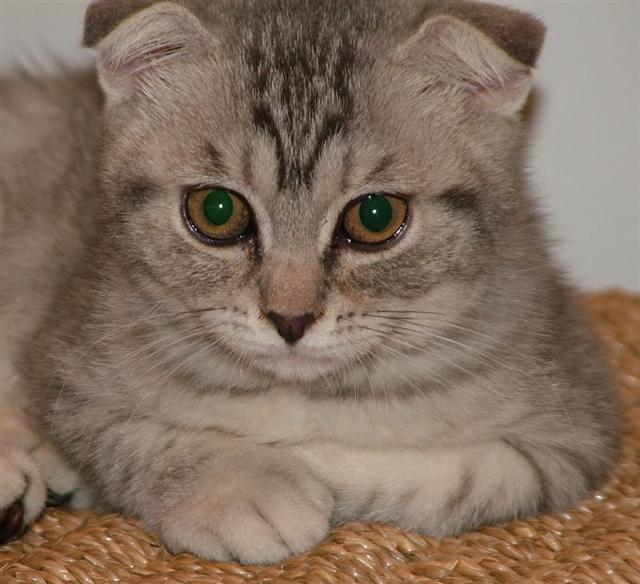 Scottish Fold Cat Photo