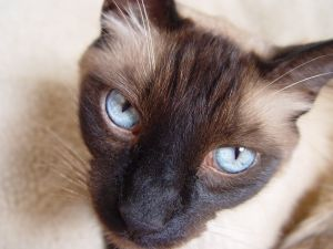Siamese Cat Blue eyes