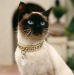 Siamese Cat Old Style