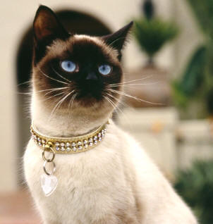 Siamese Cats Breed - Cat Information & Pictures