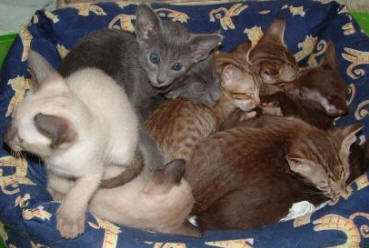 Breeders of Siamese and