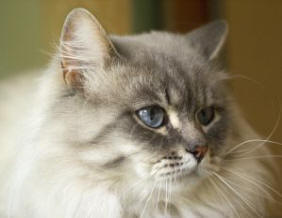 Are blue persian cats hypoallergenic