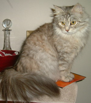 Siberian cat photos