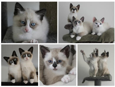 Snowshoe Cats Breeders Australia Snowshoe Kittens For Sale