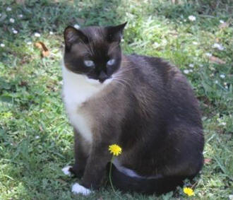 Cat Photos -Snowshoe Cat Photos