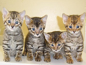 Toyger Breed Cat Information Amp Pictures