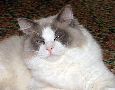 Photo Ragdoll Cat