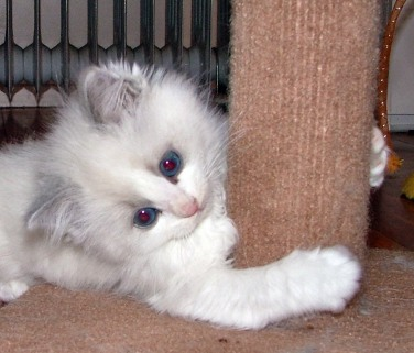 Photo Ragdoll Kitten