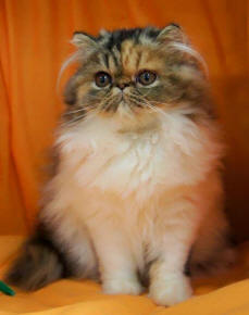Persian Kittens for Sale - Persian Cat Breeders Australia
