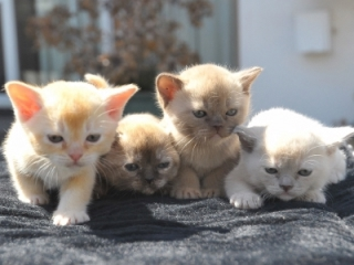 Burmese cat price australia