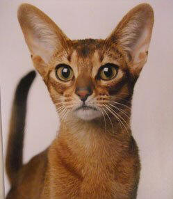Abyssinian cat breed price