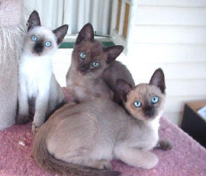Tonkinese Cat Breed Profile