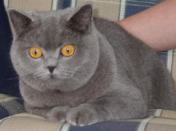 British Shorthair Breed Profile Photos and Description