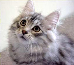 Siberian Cat Breed Profile Description and Photos