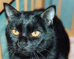 Bombay Cat Breed Cat Information Amp Pictures