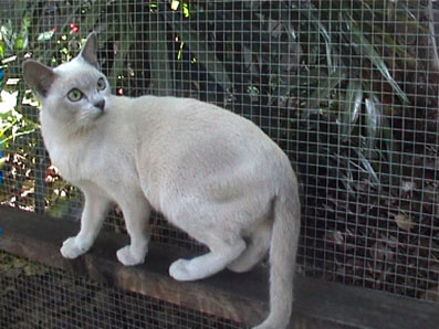 Lilac Tonkinese Cat